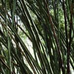 Бамбук в Тобаго